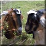 Cookie, Licorice the Goats