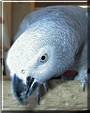 Ybarra the Congo African Grey Parrot