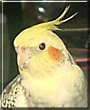 Joey the Cockatiel
