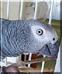 Louise the African Grey Parrot