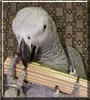 Zeus the African Grey Congo