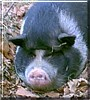 Charo the Potbelly Pig
