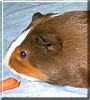 Bunker the Guinea Pig