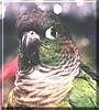 Rosie the Green Cheek Conure