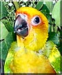 Echo the Sun Conure
