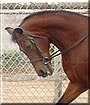 Starbucks the Arabian, Saddlebred mix