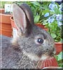 Bernie the Netherland Dwarf Rabbit