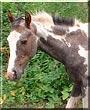 Angel the Arabian Quarter Horse