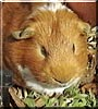 Rocky the Danish guinea pig