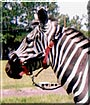 Tiffany the Grant Zebra