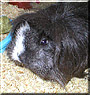 Tinkerbell the Sheltie Guinea Pig