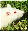 Sciron the Albino Rat
