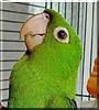 Boo the White eyed Conure