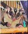 Kaze the Sugar glider
