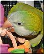 Zeta the Quaker Parrot