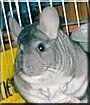Fizz Gig the Chinchilla