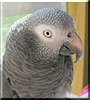 Pooky the Timneh African Grey