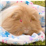 Franny the Longhaired Guinea Pig