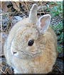 Ringo the Purebred Dwarf Rabbit