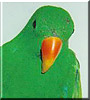 Bink E the Solomon Island Eclectus
