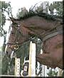 Rosie Ironada the Dutch Warmblood horse