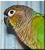 Petey the Green cheeked Conure