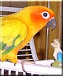 Snickers the Sun Conure