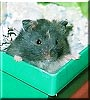 Shabu the Hamster