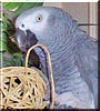 Taco the African Gray Parrot