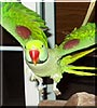 Kiki the Alexandrine Parakeet