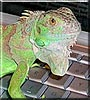 Syd the Green Iguana