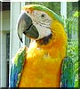 Sarabe the Catalina Macaw