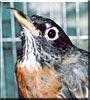 Robin the Robin