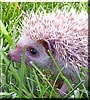 Jackpot! the African Pygmy Hedgehog