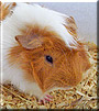 Fred the Abyssinian Guinea Pig