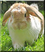 Nibbles the Lop Rabbit