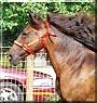 Bianca the Paso Fino Horse