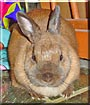 Puchiko the Dutch Rabbit