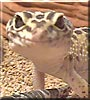Geico the High Yellow Leopard Gecko