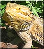Draco the Bearded dragon