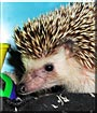 Keely the African Pygmy Hedgehog