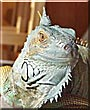 Rocket the Green Iguana