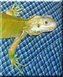 Socrates the Green Iguana