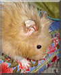 Levi the Teddy Bear Hamster