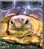 Shark the African Spur Tortoise