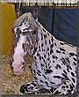 Coppelia the Appaloosa