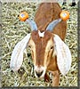 Red the Nubian Goat