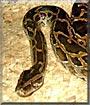 Milenko the Burmese Python