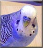 Peter the Budgie