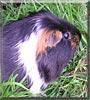 Reggie the Guinea Pig